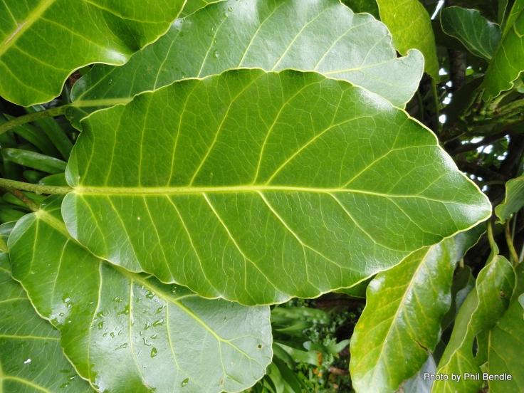 Meryta_sinclairii__Puka__Pukanui-001 (leaf)